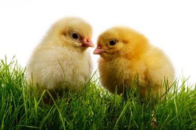 Ground Up Alive: Baby Chicks Suffer | Informative Truth ...