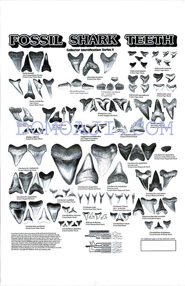 Shark teeth diagram free vehicle wiring diagrams fossil shark tooth poster domoaji publishing pinterest shark rh pinterest co uk great white shark teeth ccuart Images