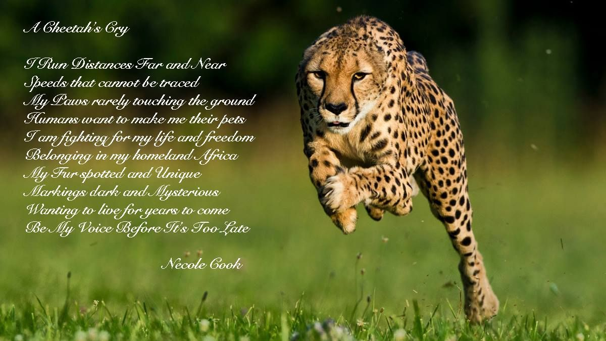 Pin by Cheetah Conservation Fund on Cheetah Poems