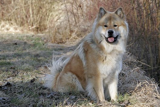 Der Eurasier (With images) Eurasier, Animals beautiful, Dogs