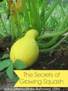 Secrets to Growing Summer Squash - tips for successfully growing yellow squash and other summer squash in your garden so you produce a nice harvest. #growingvegetables