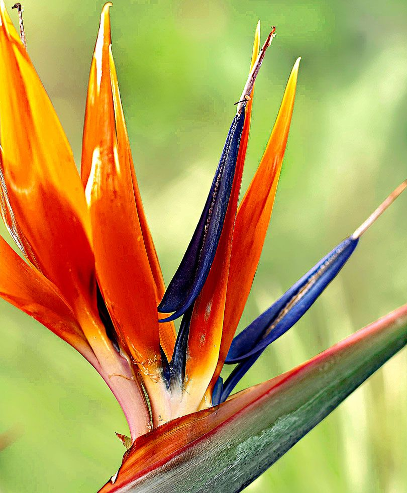 Bird Of Paradise Specials From Spalding Bulb Planting Flowers Bulb Flowers Birds Of Paradise Plant