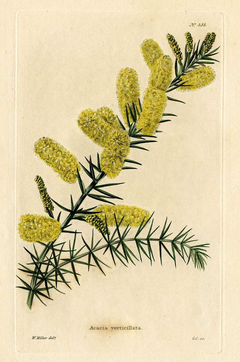 The Botanical Cabinet Conrad Loddiges Son London 1817 1833 Acacia Botanical Illustration Botanical