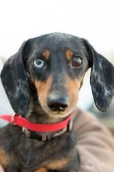 Adopt Goober On Black Tan Dachshund Animal Snacks Adoptable
