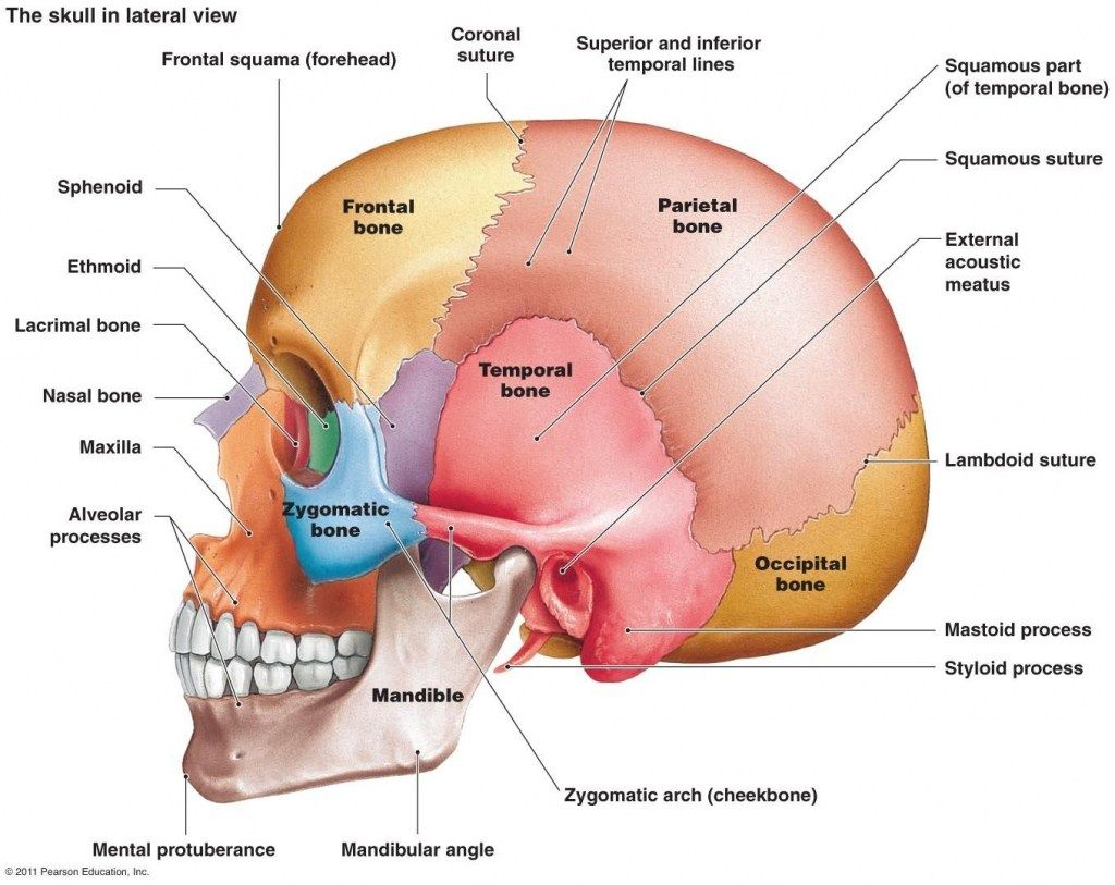 Mastoid Bone Picture Mastoid Bone Picture Picture Of