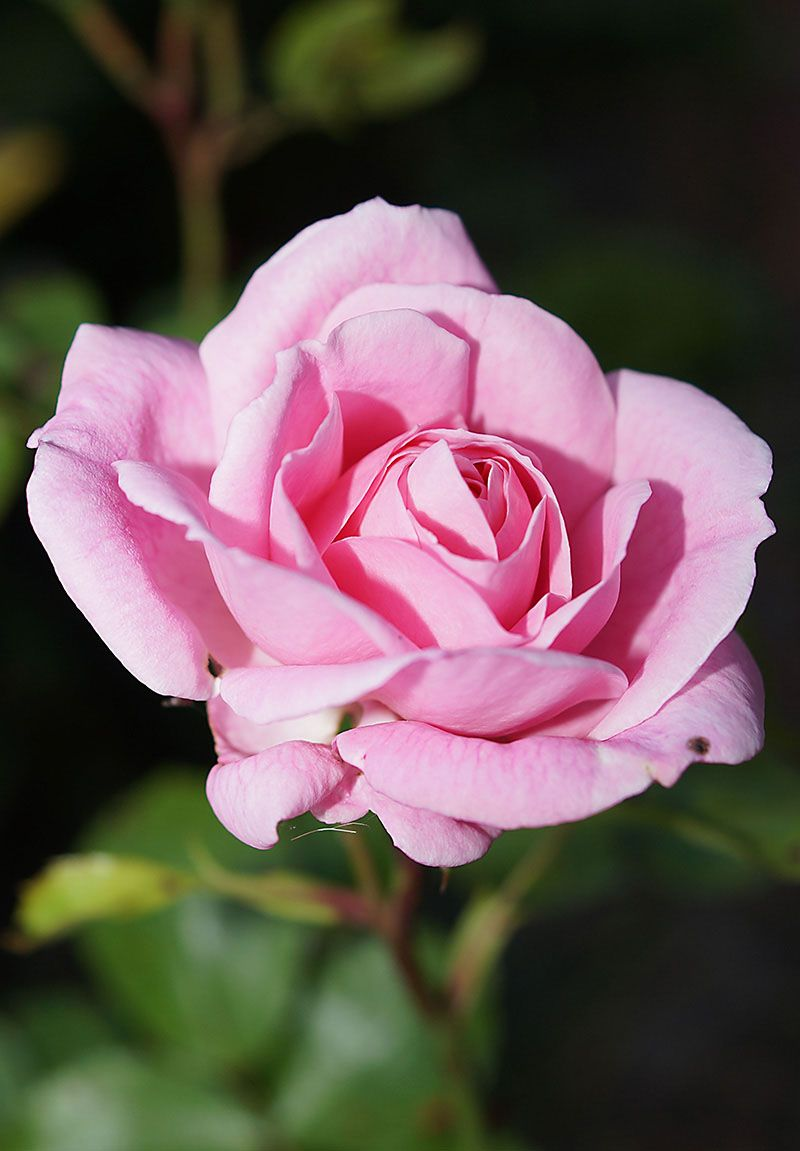 صور خلفيات ايفون كيوت ورد Hd 4 Good Morning Rose Images Blooming Rose Good Morning Love