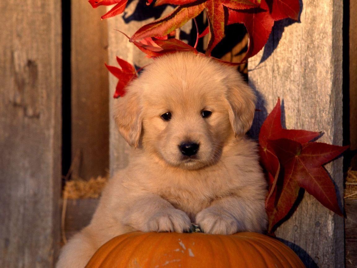 Cute Fall Pumpkins Wallpaper   Cute Golden Retriever Puppy On ...