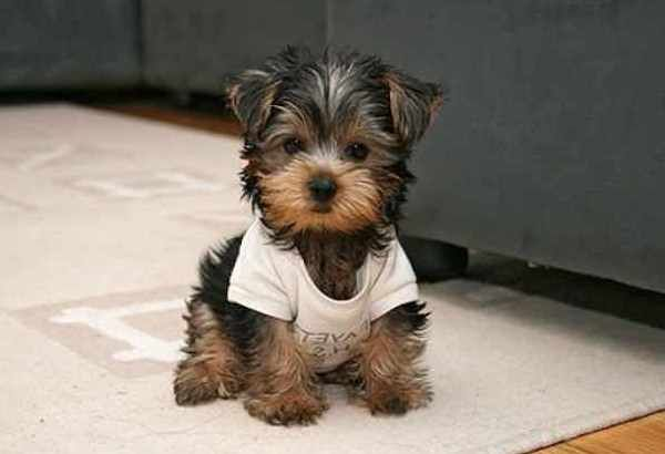 Small House Dogs That Don T Shed Yaoqunsz Images Gallery Best Small Dogs Dog Breeds That Dont Shed Yorkshire Terrier Puppies