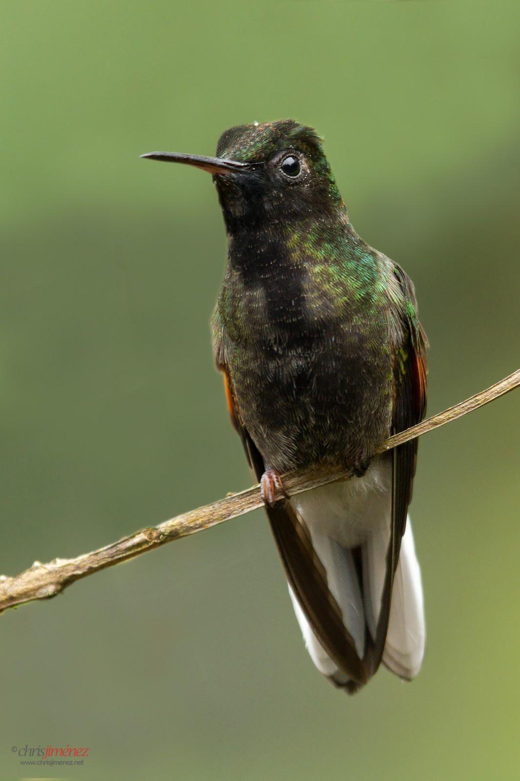 Blackbellied Hummingbird (Eupherusa nigriventris) perched