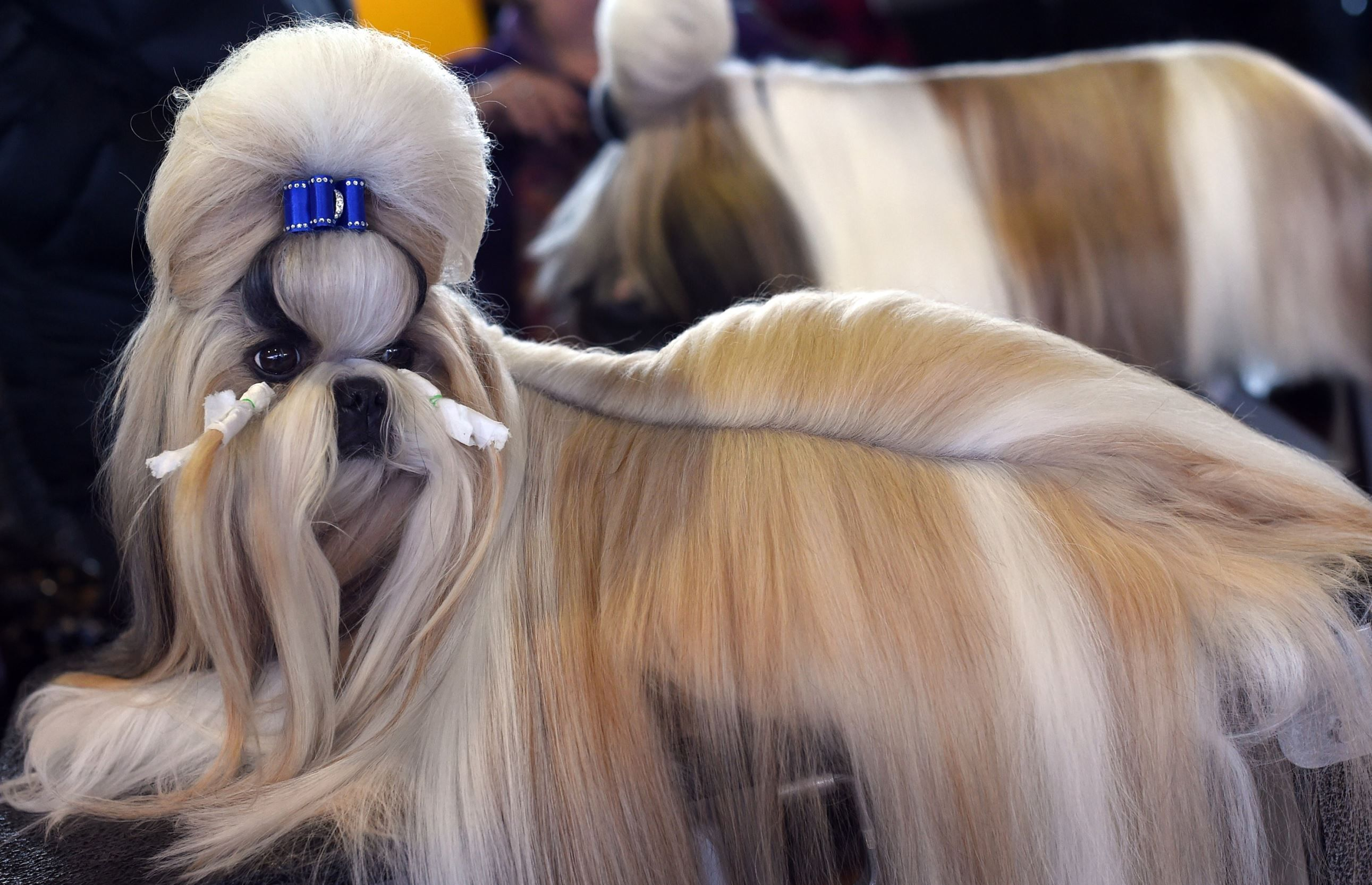2015 Westminster Dog Show Rocket The Shih Tzu Won The Toy Group