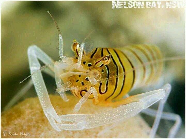 Tiger Bumblebee Shrimp Bumble Bee