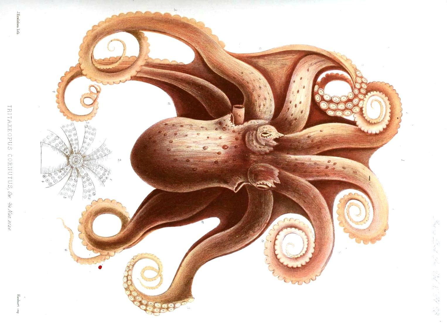 278 best octopod images on pinterest octopuses drawings and