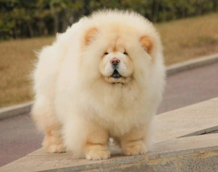 Fluffy Cream Big Fluffy Dogs Fluffy Dogs Chow Chow Dogs