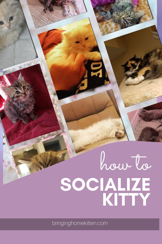 Socializing A Cat In 2020 Kitten Pet Websites Animals For Kids