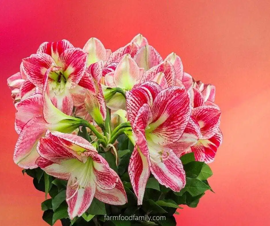 Amaryllis Flower Facts Meaning Symbolism A Symbol Of Love In 2020 Amaryllis Flowers Get Well Soon Images Amaryllis