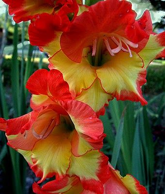Orange Yellow Gladiolus Gladiolus Flower Beautiful Flowers Amazing Flowers