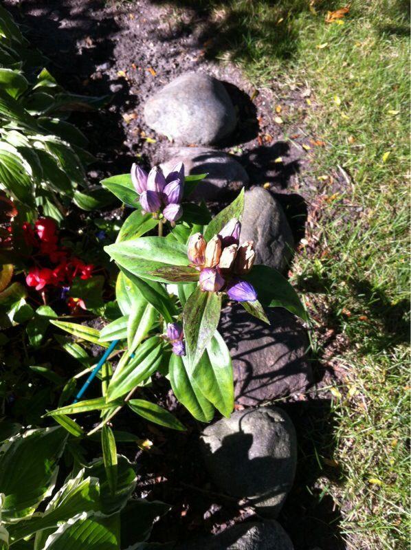 Free Plant Identification Perennial plants, Perennials