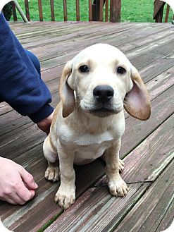 12 Week Old Beagle Lab Mix Maggie S Mission Beagle Beagle Dog