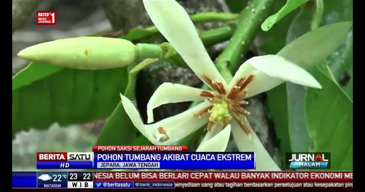12 Contoh Gambar Bunga Kantil Pohon Bunga Kantil Tempat Kartini Bermain Tumbang Download 8 Mitos Bunga Kantil Yang Berhubungan Dengan D Di 2020 Bunga Gambar Pohon