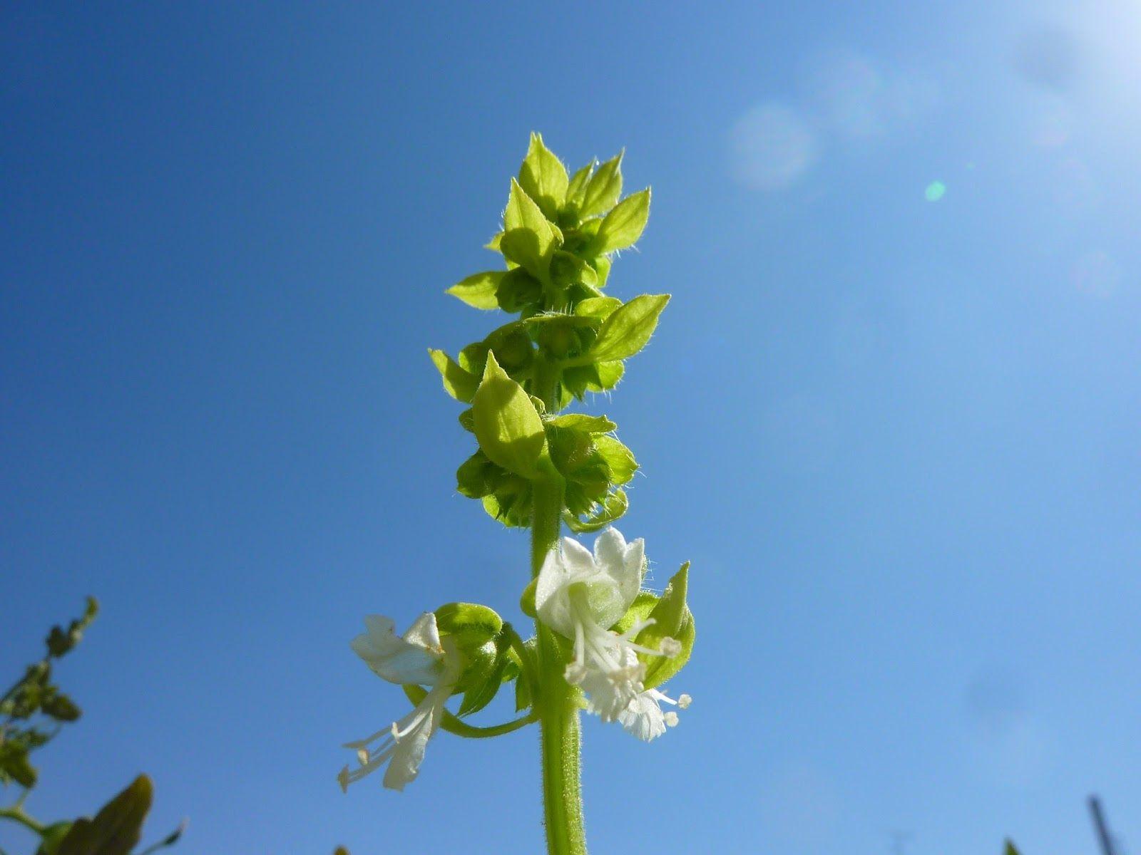 albahaca / Ocimum basilicum