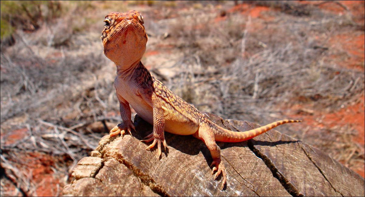 Central Netted Dragon at Uluru by
