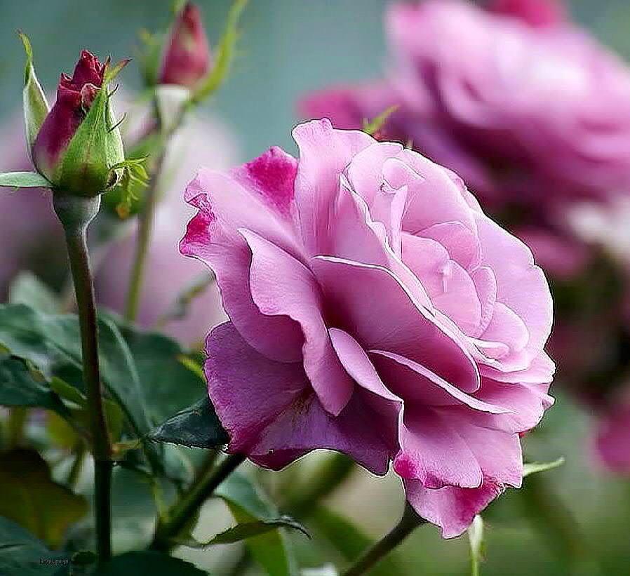 Lovely Purple Roses