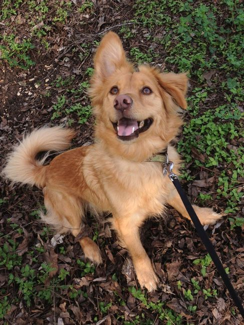 Corgi Golden Retriever Mix Corgi Mix Breeds Golden Retriever