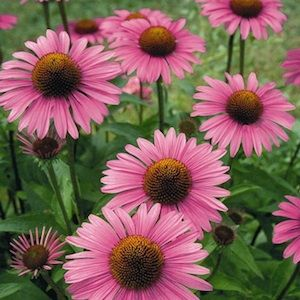 Pr09517 Primadonna Deep Rose Improved Purple Coneflower Seeds Echinacea Purpurea Huge 4 6 Inch Deep Rosy Pink Flowers Perennials Perennials Flower Seeds