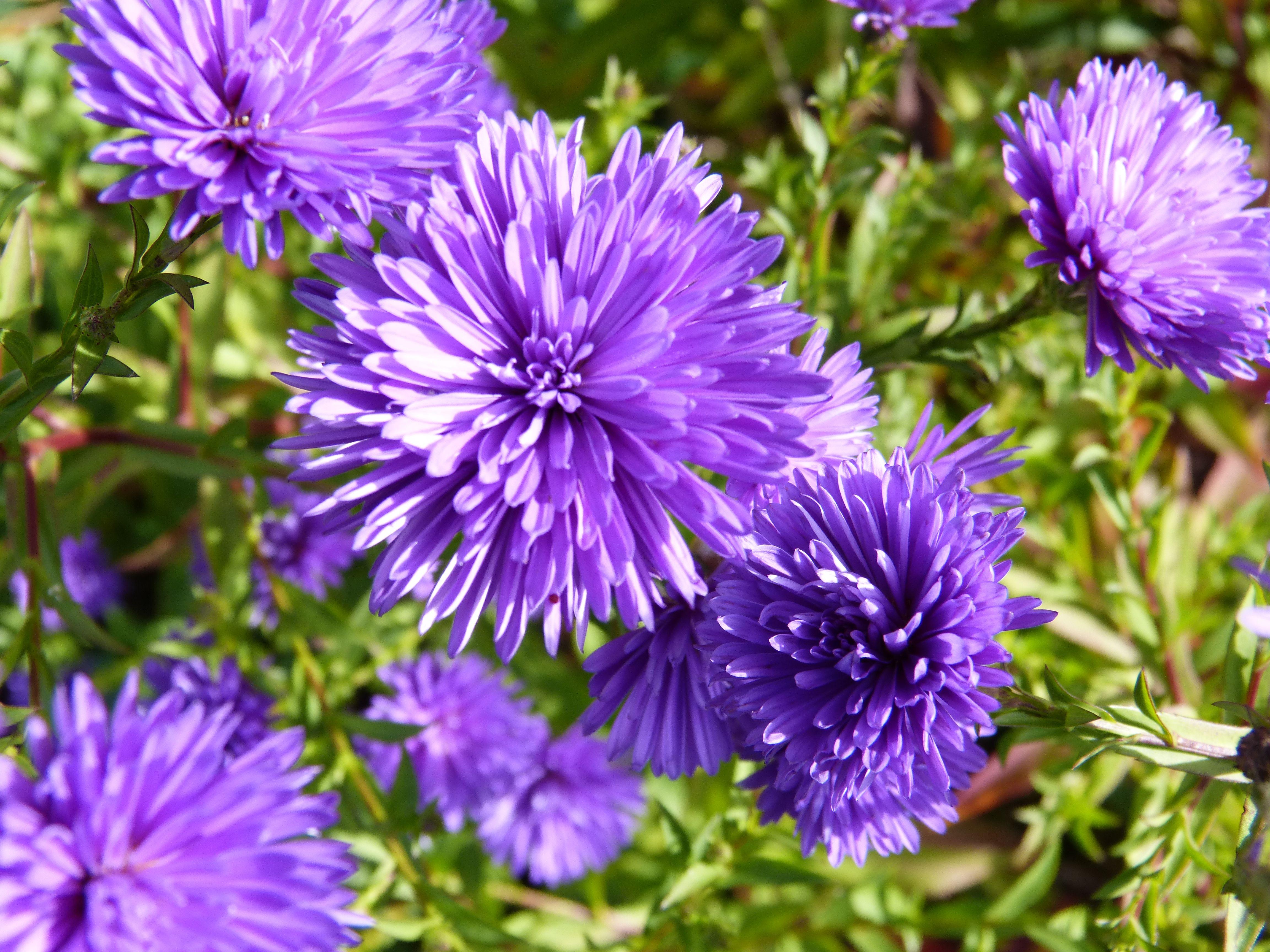 Aster Ou Asteracees Floraison De Juin A Decembre Dans Le Centre
