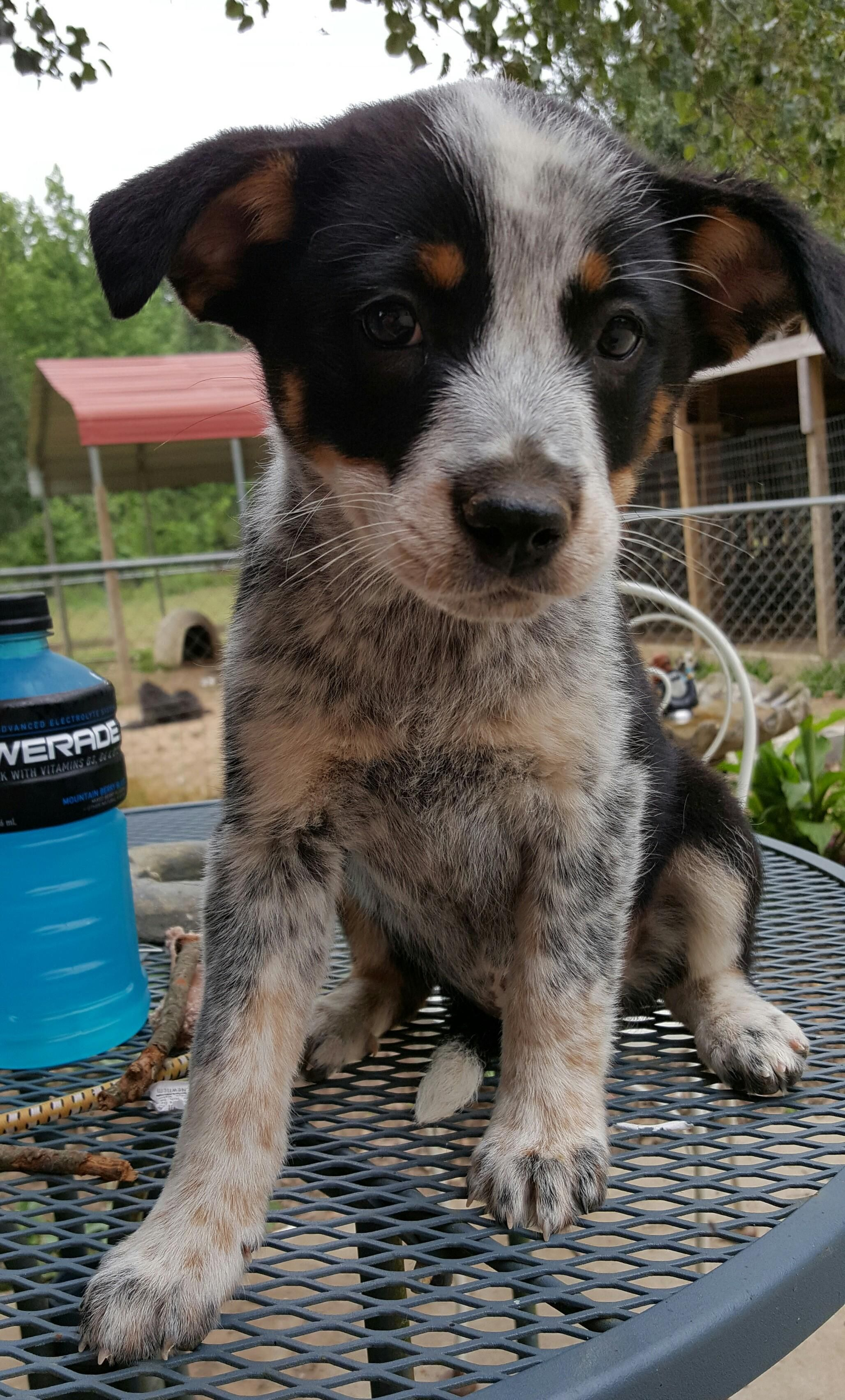 Adopt Baby Girl Bonnie On Petfinder Austrailian Cattle Dog Heeler Puppies Australian Cattle Dog Blue Heeler