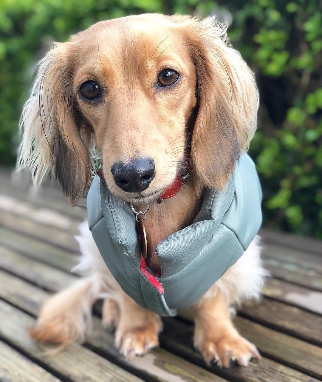 Dachshund Clothes That Actually Fit Dachshund Dachshund Breed