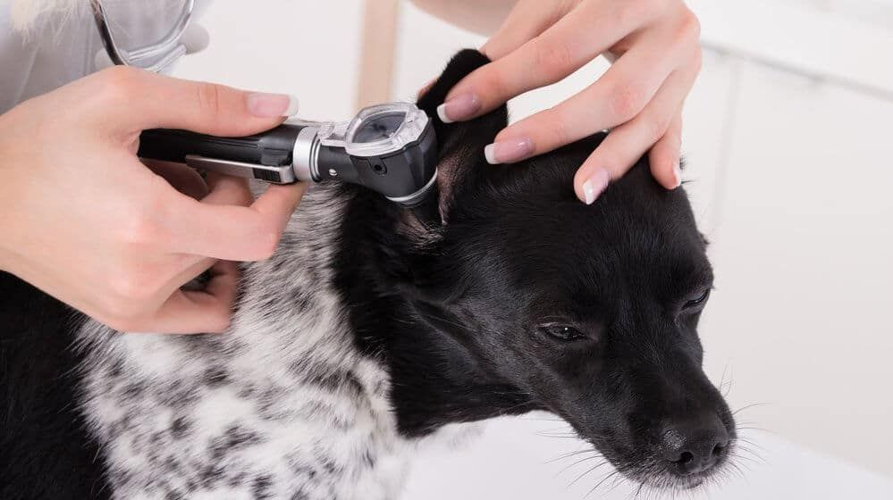 Natural Remedies For Getting Rid Of Dog Ear Infections Dog Allergies Dogs Ears Infection Cleaning Dogs Ears