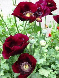 I Like Dis Maroon Color Gosh It S Bold Beautiful Flowers Pretty Flowers Poppy Flower