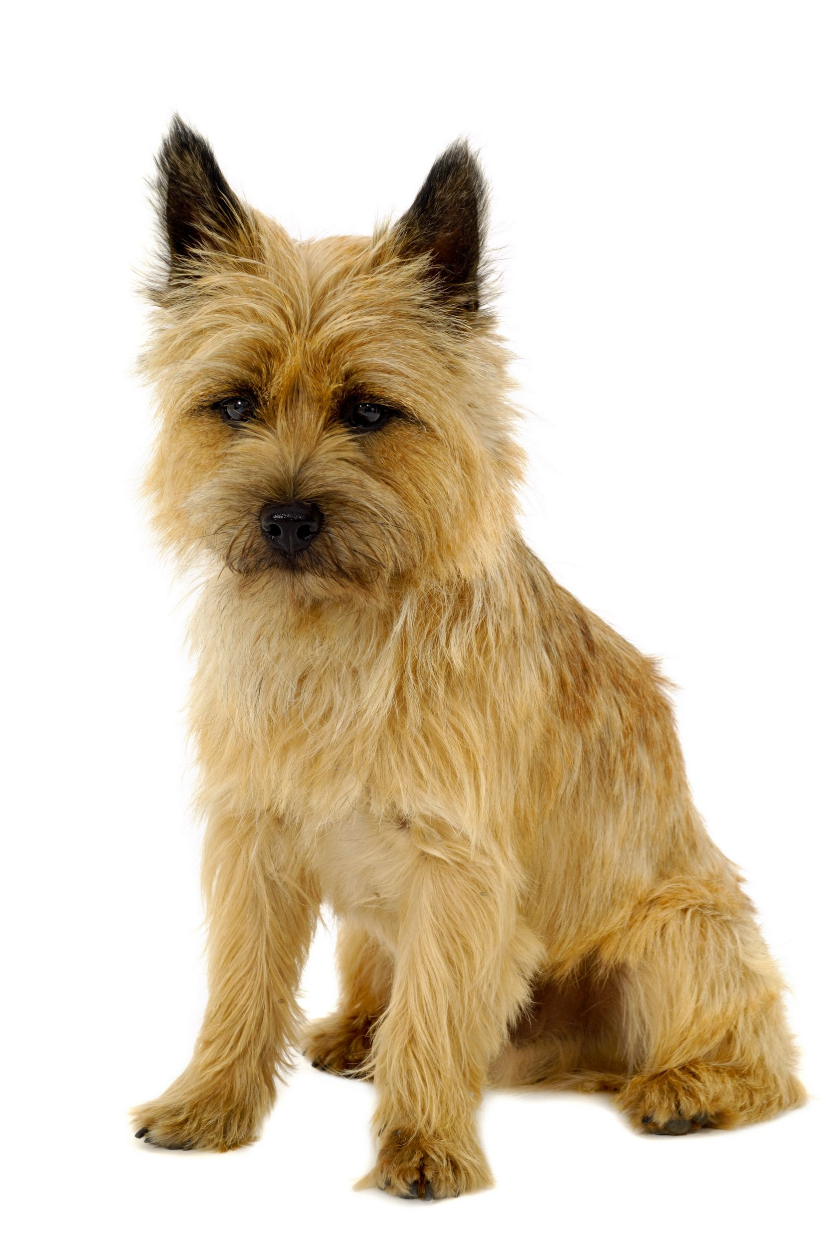 Cairn Terrier Dog Breed Bio From Alldogboots Cairn Terrier