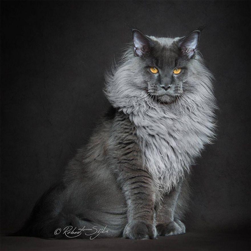 Animais Místicos: Fotógrafo Captura A Majestosa Beleza Dos Maine Coons