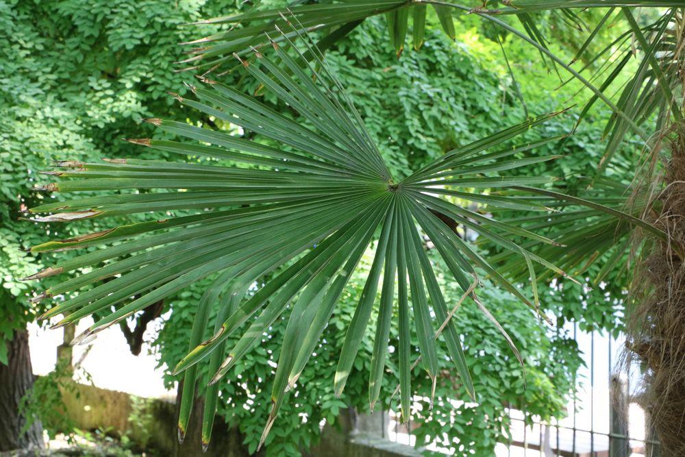 Winterharte Palmen 7 Arten Fur Den Garten Bis Zu 25 C Winterharte Palmen Palmen Garten Hanfpalme