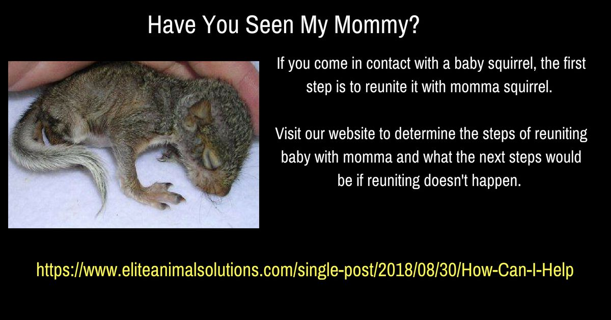 Pin By Elite Wildlife Removal On Squirrels With Images Baby Squirrel Wildlife Squirrel