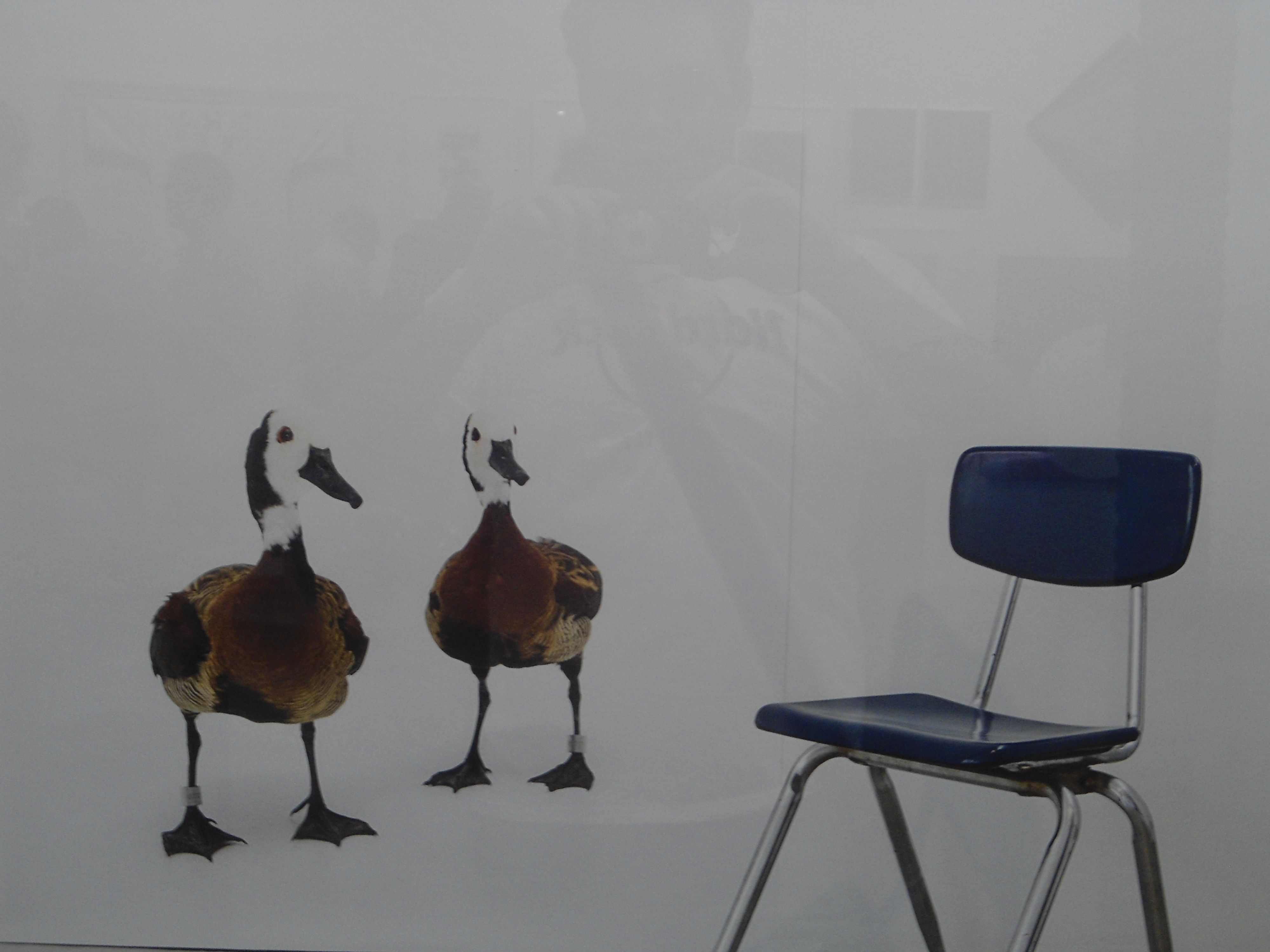 Ducks looking for chair
