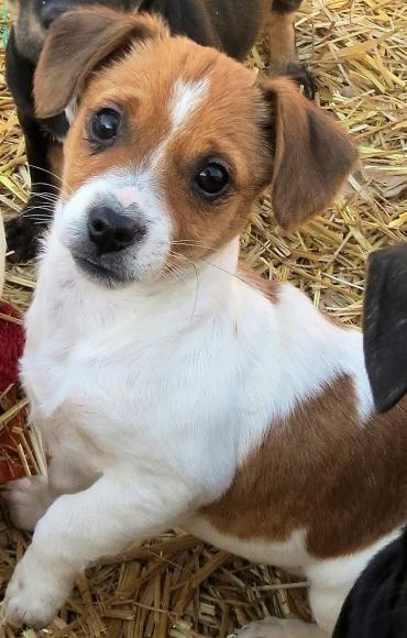 Hund Welpe Mischling Mischling Hundin 3 Monate Rumanien Hunde Welpen Jack Russell Terrier Susse Hunde