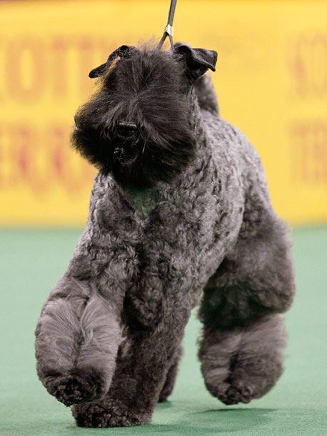 Best In Show 14 Westminster Wonders Westminster Dog Show Dog