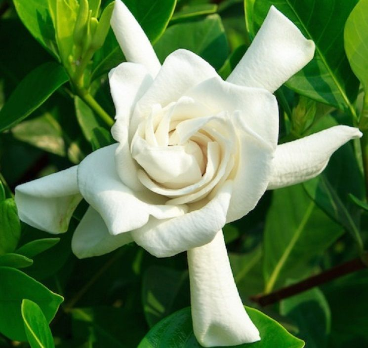 Details About Four Seasons Gardenia Beautifuly Fragrant Double