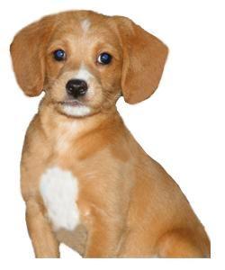 Beagle Miniature Poodle Mix Owner Experiences Tips Photos