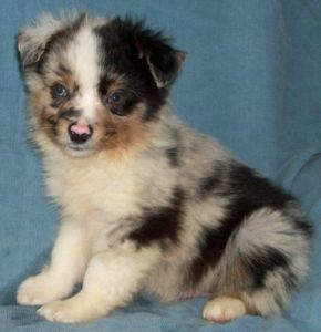 Toy Miniature Aussie Puppies Edmonton Dogs Puppies For Sale