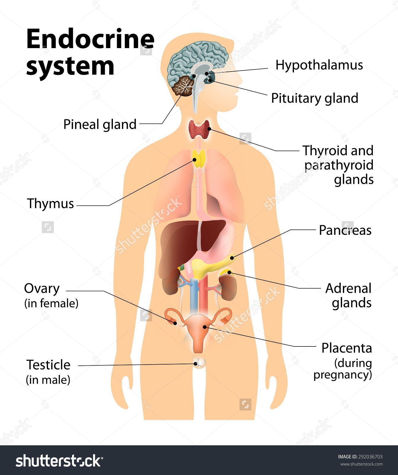 Endocrine System Highlighting Internal Organs Anatomy