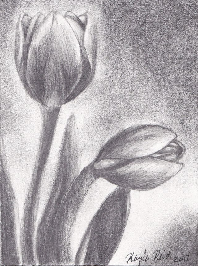 тюльпаны рисовать карандашом картинки выяснили, какое