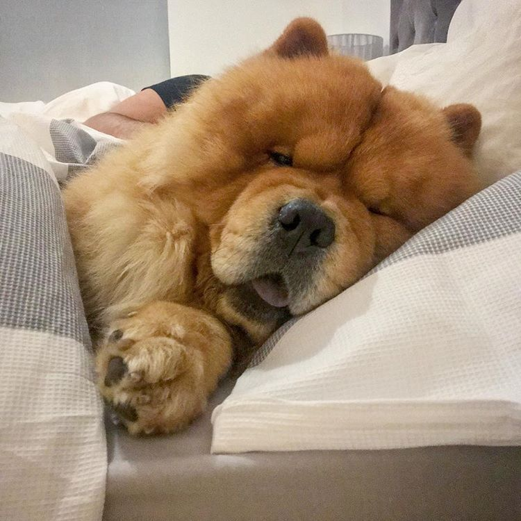 If Monday S Were A Haircut They D Definitely Be A Mullet Chow Chow Dog Puppy Cute Dogs And Puppies Fluffy Dogs