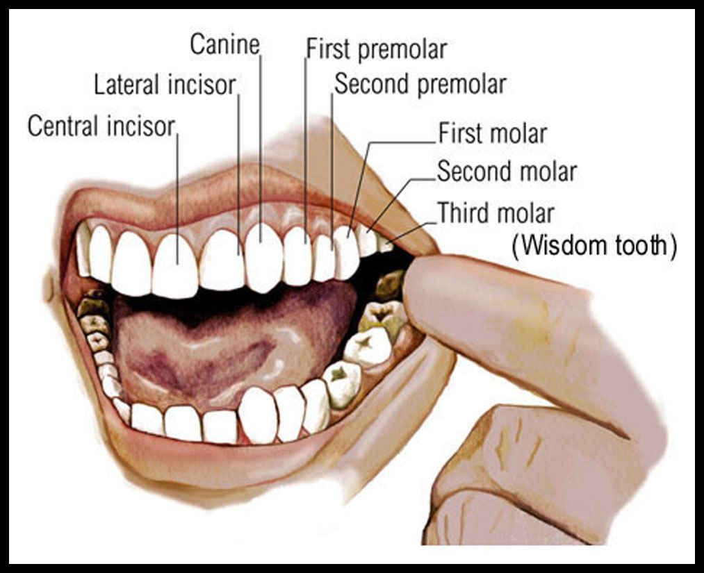 Mouth Teeth Diagram with Label | teeth | Dental assistant