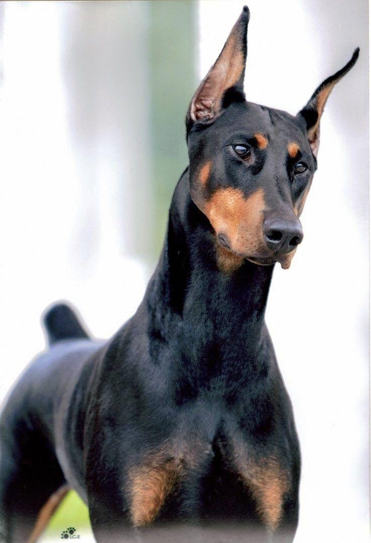 Smashing Domestics Pinterest Most Overprotective Dogs Most Protective Dogs Babies Protective Dog Breeds Most Most Protective Dog Breeds Dogs bark post Most Protective Dogs