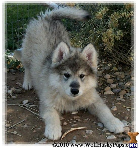 Wolf Husky Mix It S So Fluffy I Want But My Parents Said No