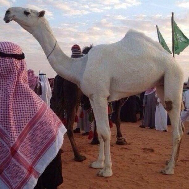 the-dream-of-riding-a-camel